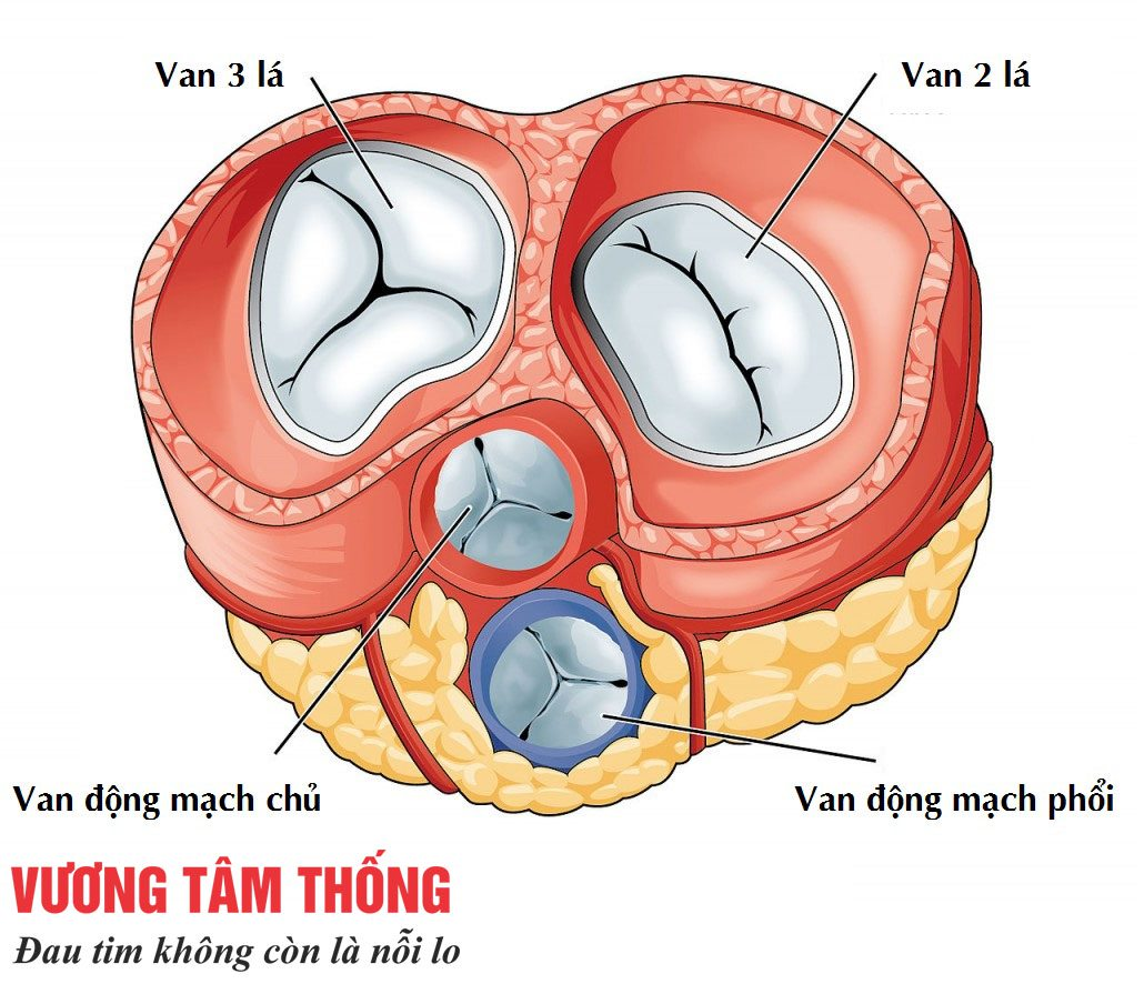 Van tim hai lá nằm giữa tâm nhĩ trái và tâm thất trái